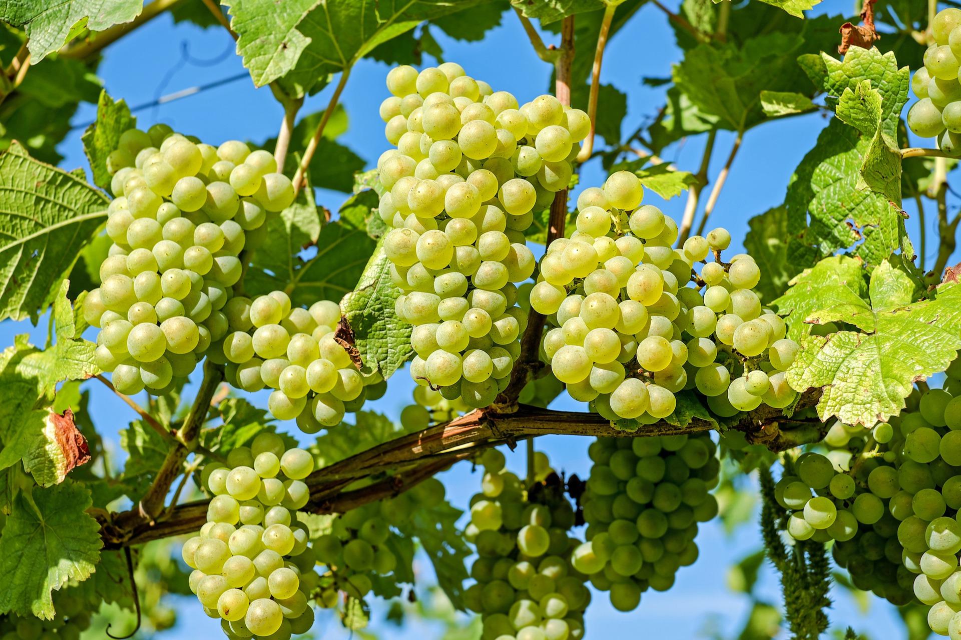 Wijngaarden in Slovenië