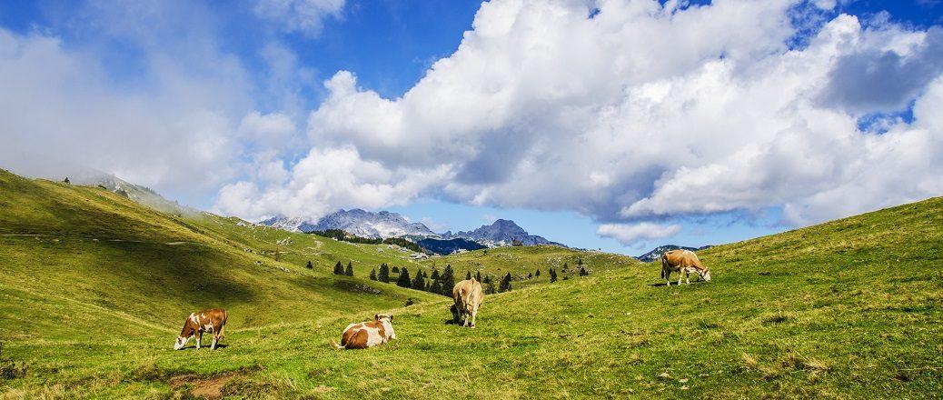 Koeien op een veld in de bergen