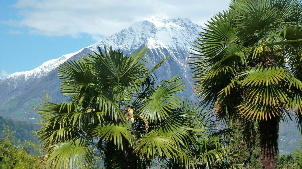 Palmbomen met besneeuwde bergen op achtergrond