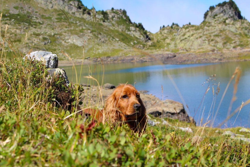 Hond ligt in gras naast meer in de bergen
