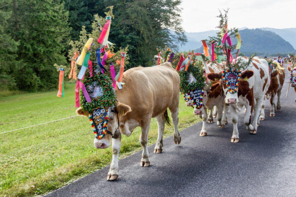 Koeien met versiering