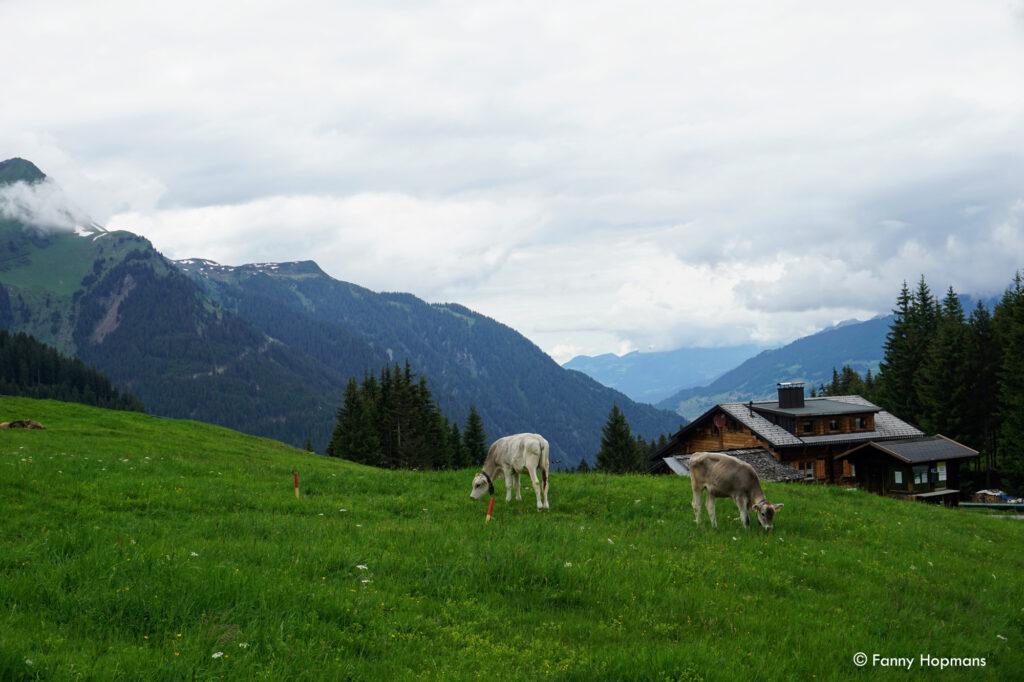 Koeien-in-de-wei-copyright-Fanny-Hopmans